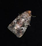 Festive Midget Moth (9681)