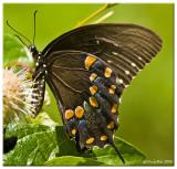 Black Swallowtail July 30