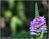 Obedient Plant September 16 *