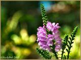 Obedient Plant September 17 *