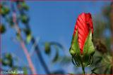Hibiscus Bloom October 10 *