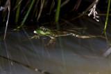Marsh frog.jpg
