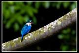 Collared kingfisher.jpg