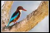 White-throated kingfisher 2.jpg