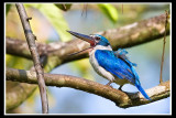 Collared kingfisher 3.jpg