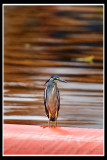 Little heron 2.jpg
