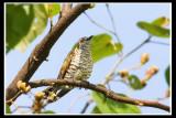 Little Bronze Cuckoo .jpg