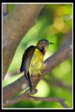Male brown Throated Sunbird.jpg