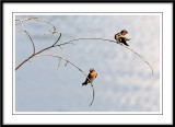 Pacific swallow 2.jpg