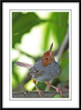 Ashly Tailorbird 2.jpg