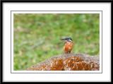Common Kingfisher 5.jpg