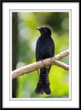 Drongo Cuckoo.jpg