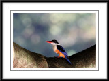 Black-capped Kingfisher.jpg