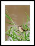 Asian Brown Shrike 2.jpg