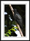 Drongo cuckoo 2.jpg