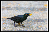 Asian Glossy Starling.jpg