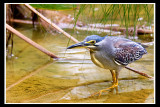 Little Heron.jpg
