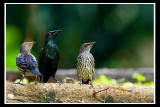 Asian Glossy Starling 2.jpg