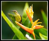Female olive backed sunbird 2.jpg