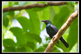 Asian Glossy Starling 3.jpg