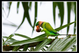 Long-tailed parakeet.jpg