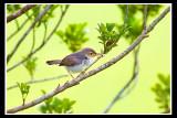Common tailorbird.jpg
