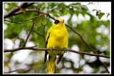 Black-naped oriole .jpg