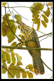 Female koel.jpg