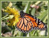 Papillons / Butterflies