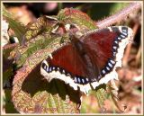 Morio / Mourningcloak Butterfly / Nymphalis antiopa antiopa
