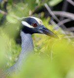 Yellow-crowned Night-heron .jpg