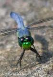 Eastern Pondhawk Dragonfly (male)