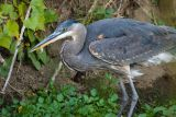 Great Blue Heron with small fish