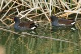 Common Moorhens