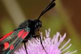 5 Spot Burnet Moth