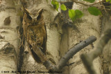 Indische Dwergooruil / Collared Scops Owl