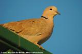 Eurasian Collared DoveStreptopelia decaocto decaocto