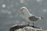 Black-Legged Kittiwake  (Drieteenmeeuw)