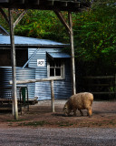 Outback sheep