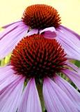 Cone Flower Duo