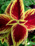 Coleus Leaf Detail