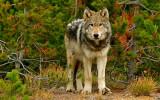 A Curious Wolf