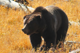 Griz, Yellowstone