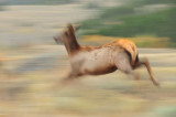 Elk in Motion