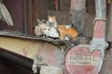 Farm Cat and Kittens outside of Logan, Utah