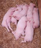 Nap time for the little pink piggies.
