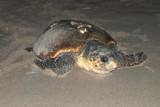 Turtle Watch June 20, 2008