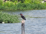 Vantage point for the Green Heron