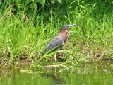 Green heron_2