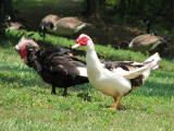 A pair of Muscovy ducks